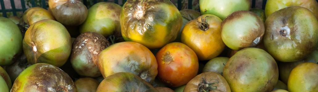 Kraut- und Braunfäule (Tomaten)