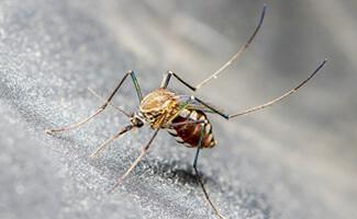 Stechmücken (Stechmückenlarven)