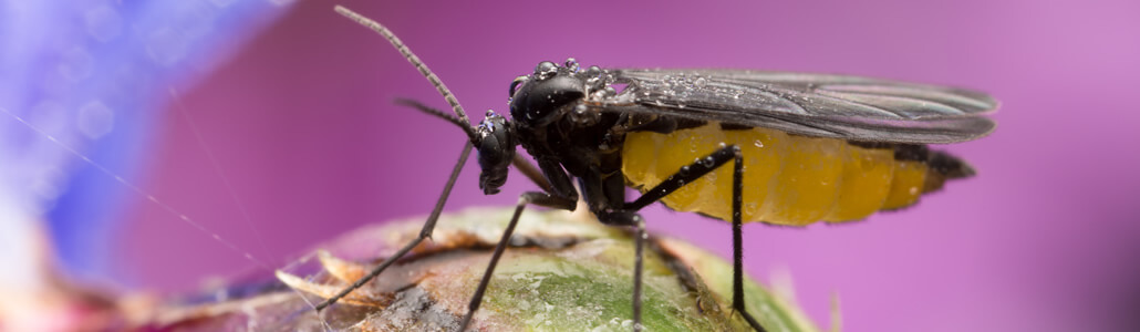 Trauermücken (Schwarze Fliegen)