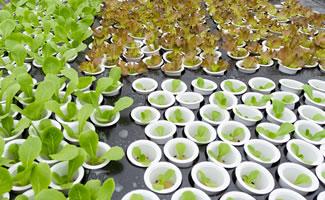 Aeroponische Fortpflanzung (Klonen)