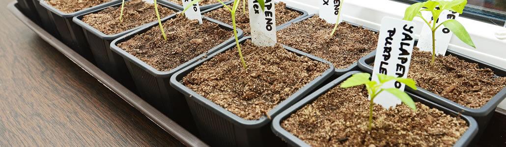 Chili Pflanzen Anzucht