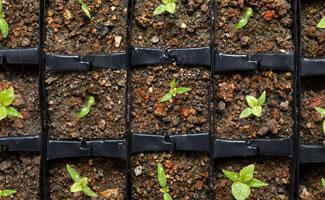 Chili-Pflanzen Aussaat