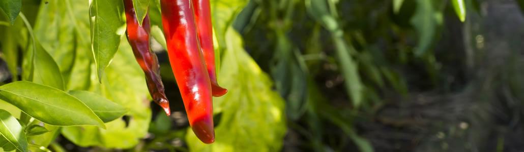 Die Chili Blühte