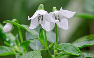 Chili Blühte