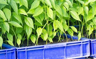 Chili umpflanzen