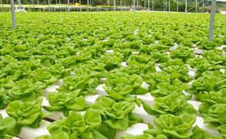 Salat in Hydro Frarm